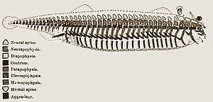 Transmutation of species - This 1847 diagram by Richard Owen shows his conceptual archetype for all vertebrates.