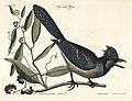 Verzameling van uitlandsche en zeldzaame vogelen (Tab. XXX) (7894166770).jpg