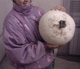 Calvatia gigantea - Image: Vesse Geante