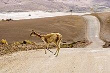 Les lamas sont des chameaux dans LAMA 220px-Vicu%C3%B1a_Vigogne_El_Tatio_4200m_Chile_Luca_Galuzzi_2006