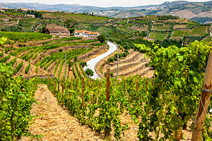 Donzelinho branco - Donzelinho branco is planted in the Douro region where it can be used in several wines, particularly the Vinho Regional wines of the Duriense.
