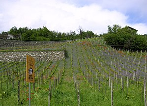 Chambave - A vineyard of  Chambave in spring
