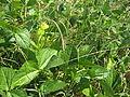 Vigna unguiculata pod2 (10737281175).jpg
