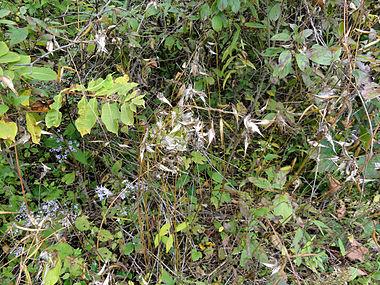 Vincetoxicum rossicum SCA-04849.jpg
