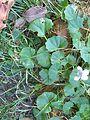 Viola hederacea plant12 - Flickr - Macleay Grass Man.jpg