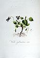 Viola sylvestris — Flora Batava — Volume v6.jpg