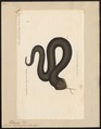 Vipera nigra - 1700-1880 - Print - Iconographia Zoologica - Special Collections University of Amsterdam - UBA01 IZ12100085.tif