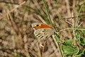 Vlinder op een plant in Nederland.jpg