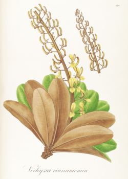 Vochysia cinnamomea Pohl120.png