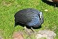 Vogelpark Walsrode - Freiflughalle - Acryllium vulturinum 02 ies.jpg