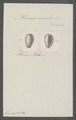 Volvaria monilis - - Print - Iconographia Zoologica - Special Collections University of Amsterdam - UBAINV0274 087 05 0002.tif