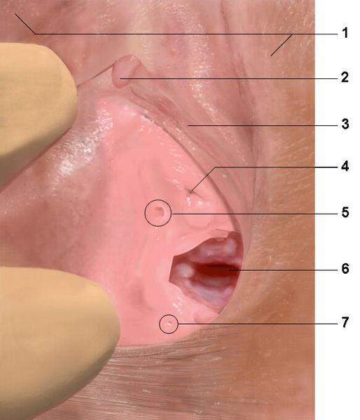vulvas clitoris: