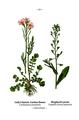 WWB-0030-010-Cardamine pratensis-Capsella bursa-pastoris.png