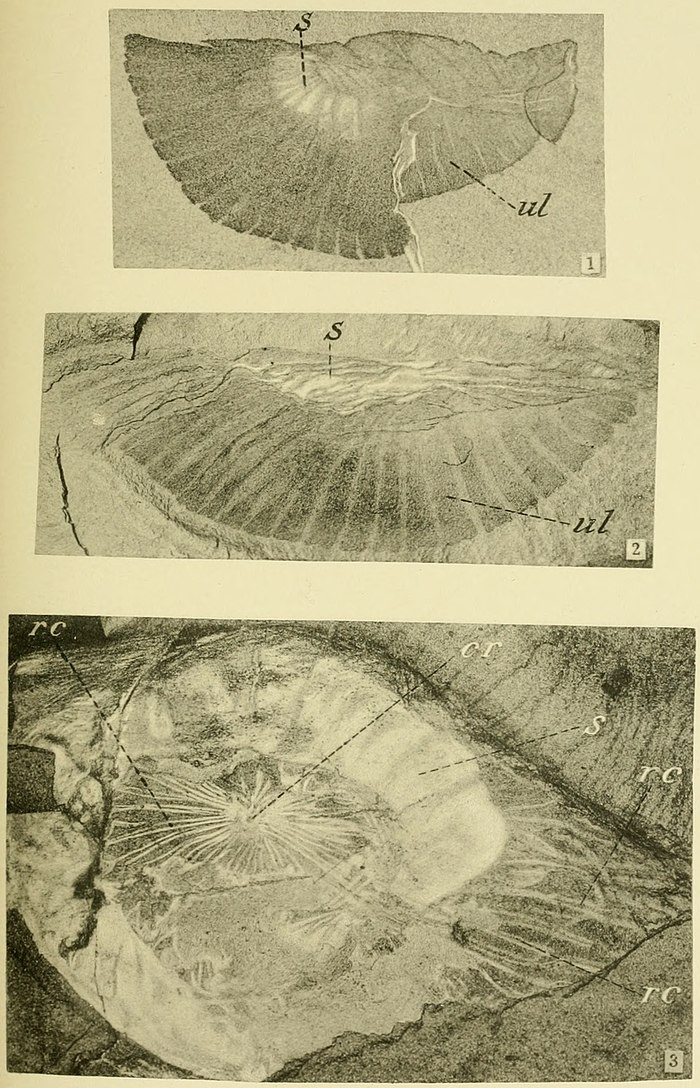 Walcott Cambrian Geology and Paleontology II plate 11.jpg