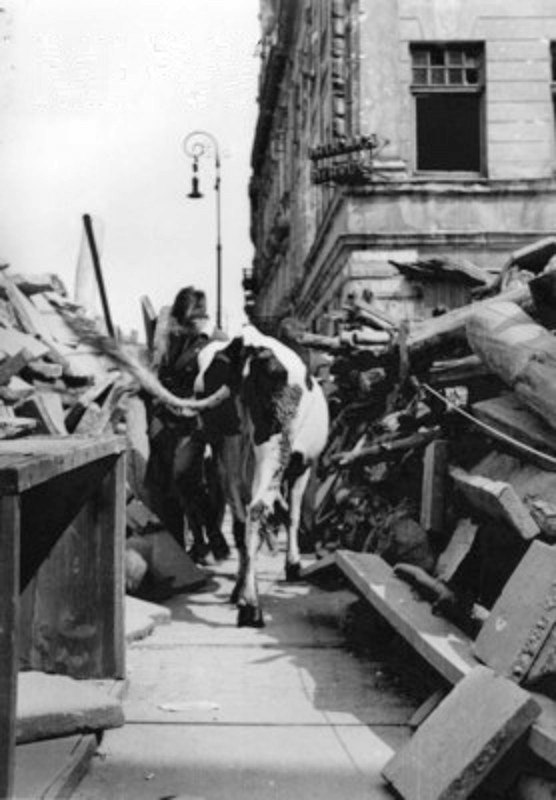 Warsaw Uprising by Lokajski - Cow at Nowy Świat - 4061