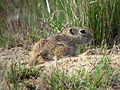 Washington Ground Squirrel Pup - Flickr - GregTheBusker.jpg