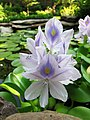 Water Hyacinth Bloom - panoramio.jpg