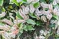 Weinmannia racemosa in West Coast Region 06.jpg
