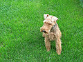 Welsh Terrier Image.jpg
