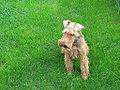 Welsh Terrier Image.jpg