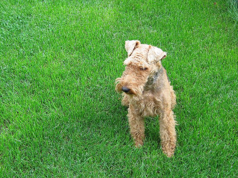 El Welsh terrier fue criado para cazar roedores