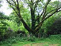 Wesley's oak tree - geograph.org.uk - 442427.jpg