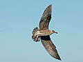 Western Gull juvenile Monterey RWD.jpg