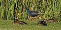 Western Swamphen - Algarve - Portugal CD5A5954 (48054683183).jpg
