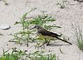 Western yellow wagtail, Motacilla flava, Chobe National Park, Botswana. (31944700040).jpg