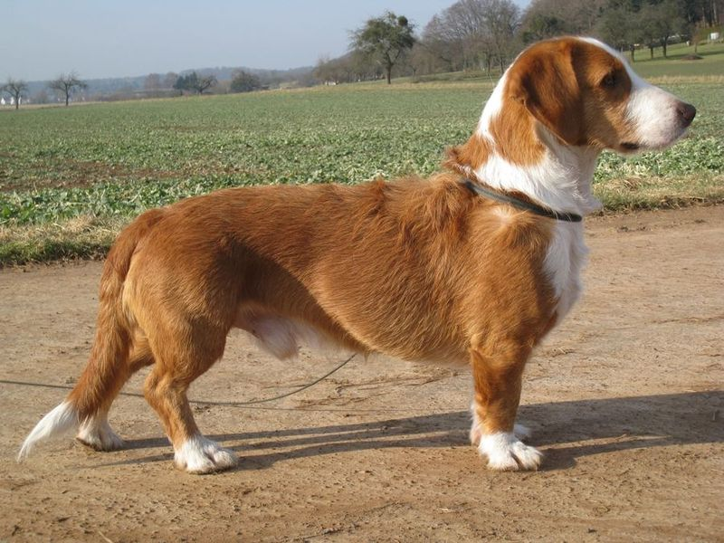 A Long Bodied Short Legged Breed Of Dog