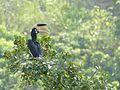 Wg malabar pied hornbill female.jpg