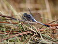 White-Tailed Skimmer, male (10039917786).jpg