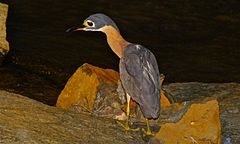 White-backed Night Heron (Gorsachius leuconotus) (6001840951).jpg
