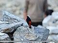 White-capped Redstart (Chaimarrornis leucocephalus) (15707950590).jpg