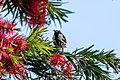 White-cheeked honeyeater.jpg