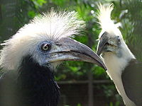 White-crowned Hornbill (Aceros comatus) -pair-6a