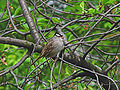 White-crowned Sparrow Ottawa.jpg