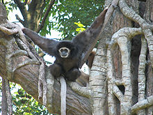 White handed gibbons sexually dimorphic