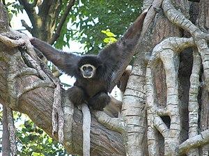Lar gibbon - Climbing lar gibbon showing the darker fur of some individuals
