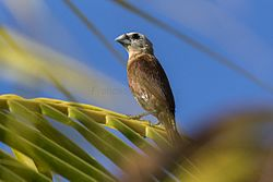 White-headed Munia - Bali Barat MG 9043 (29773912916).jpg