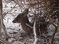 White-tailed Deer-27527-5.jpg