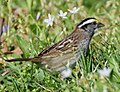White-throated Sparrow (playing around with cropping) (32332790652).jpg