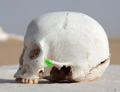 WhiteDesertSkullCropped - Zygomaticotemporal suture green.png