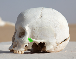 WhiteDesertSkullCropped - Zygomaticotemporal suture green.png