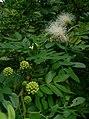 White Powderpuff (Calliandra haematocephala 'Alba') 1.jpg