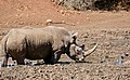 White Rhino (Ceratotherium simum) male at waterhole ... (50217988752).jpg