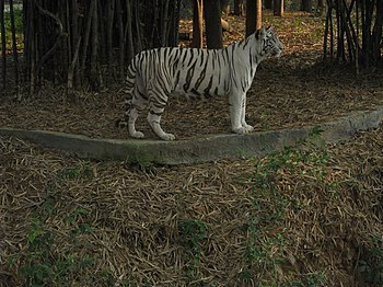 White Tiger Cooling Off in a Summer Evening. 05.jpg