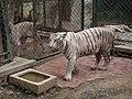 White Tiger from Bannerghatta National Park 8517.JPG