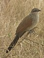 White browed coucal in Tanzania 3141 cropped Nevit.jpg