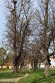 Wien-Hütteldorf - Naturdenkmal 200 - westliche Allee beim Europahaus.jpg